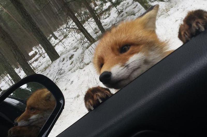 Любопытная лисичка у дороги.