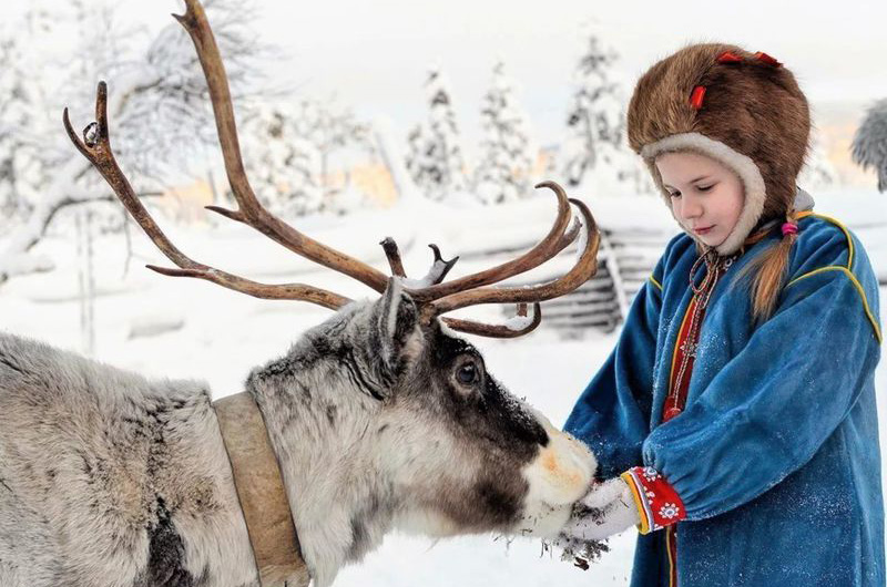 В гостях у саамов вы сможете покормить с рук ягелем северных оленей.
